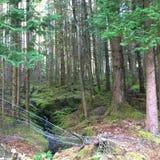 Kiefern-Wald mit Draht-Zaun Stockfotos