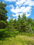 Kiefern-Waldlandschaft Michigan Lizenzfreies Stockbild