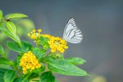 Kiefern-Weiß-Schmetterling lizenzfreie stockbilder