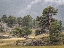 Kiefernbäume im rmnp Lizenzfreies Stockbild