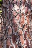 Kiefernbarkenhintergrund stockfoto