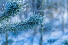 Kieferniederlassungen im Winter Stockbild
