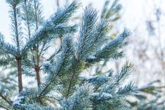Kieferniederlassungen im Winter Stockbilder