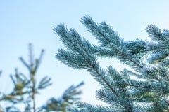 Kieferniederlassungen im Winter Lizenzfreies Stockfoto