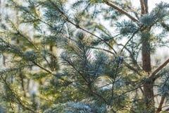 Kieferniederlassungen im Winter Lizenzfreies Stockbild