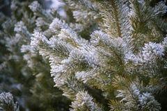 Kieferniederlassungen umfasst mit Schneefrost in den kalten Tönen Lizenzfreie Stockfotografie