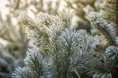 Kieferniederlassungen umfasst mit Schneefrost in den kalten Tönen Stockfoto