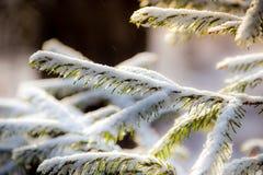 Kieferniederlassungen umfasst mit Schneefrost in den kalten Tönen Lizenzfreie Stockbilder