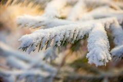 Kieferniederlassungen umfasst mit Schneefrost in den kalten Tönen Stockbilder