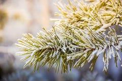 Kieferniederlassungen umfasst mit Schneefrost in den kalten Tönen Stockfotografie