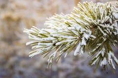 Kieferniederlassungen umfasst mit Schneefrost in den kalten Tönen Lizenzfreies Stockfoto