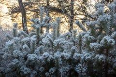 Kieferniederlassungen umfasst mit Schneefrost in den kalten Tönen Lizenzfreies Stockbild
