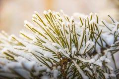 Kieferniederlassungen umfasst mit Schneefrost in den kalten Tönen Lizenzfreie Stockfotos