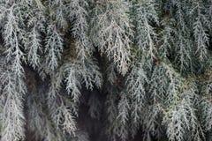 Kieferniederlassungen Weihnachtssymbolhintergrund Stockfotos