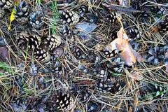 Kiefernkegel auf dem Gras im Herbst Lizenzfreie Stockbilder