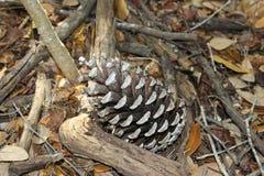 Kiefernkegel auf Waldboden Lizenzfreies Stockfoto