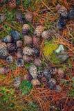 Kiefernkegel auf Waldboden im Herbst Stockbilder