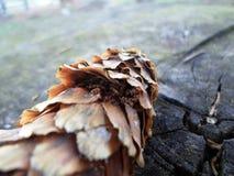 Kiefernkegel, der auf eine Holzoberfläche legt Stockfoto