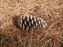 Kiefernkegel im Waldboden Stockfoto