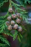 Kiefernkegel mit grünen Blättern Lizenzfreie Stockfotos