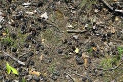 Kiefernkegel und -zweige auf dem Waldboden Lizenzfreies Stockfoto