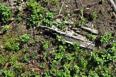 Kiefernkegel und -zweige auf dem Waldboden Stockfotos