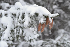 Kiefernkegel während eines Blizzards Lizenzfreie Stockbilder