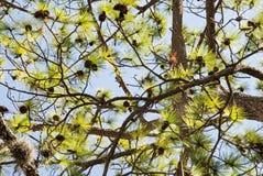 Kiefernlaub mit Himmelhintergrund lizenzfreies stockfoto