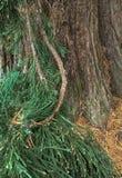 Kiefernnadeln, -niederlassung und -stamm des immergrünen Baums Lizenzfreies Stockfoto