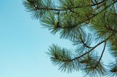 Kiefernniederlassung auf blauem Himmel des Hintergrundes lizenzfreies stockfoto