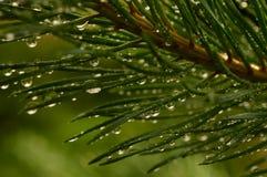 Kiefernniederlassung in den Tropfen des Sommerregens des Sonnenlichts der Morgensonne Lizenzfreie Stockfotografie