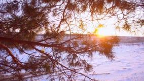 Kiefernniederlassung in der Sonne, Schneeflocken, die in der Sonne, Forderung durchgesetzt mit Schnee, schöne Winterlandschaft fu stock video