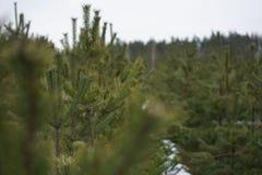 Kiefernniederlassung in der Unschärfe gegen Waldhintergrund Lizenzfreie Stockfotografie