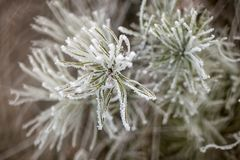Kiefernniederlassung im Frost Stockfoto