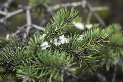 Kiefernniederlassung im Schnee an einem kalten Wintertag Stockfoto