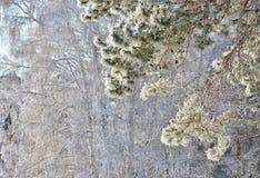 Kiefernniederlassung im Winter Stockbild