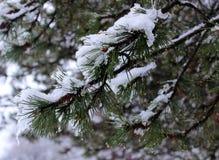 Kiefernniederlassung mit Schnee Stockbild