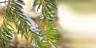 Kiefernniederlassung mit Schnee Stockfotos