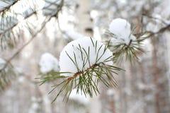 Kiefernniederlassung mit Schnee Weiße Schneeflocken auf einem blauen Hintergrund stockfotos
