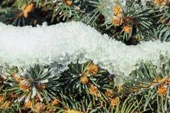 Kiefernniederlassung umfasst mit Schnee Lizenzfreie Stockfotos