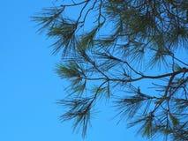 Kiefernniederlassungen gegen den Himmel Stockfotos