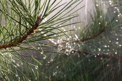 Kiefernniederlassungen im Regen Stockfotos