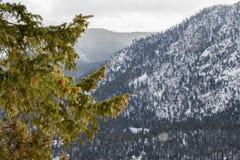 Kiefernniederlassungen im Sonnenlicht mit leicht fallendem Schnee in den Bergen stockfotografie