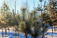Kiefernniederlassungen im Winter Lizenzfreie Stockbilder