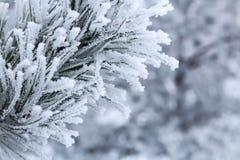 Kiefernniederlassungen mit den Nadeln abgedeckt durch Frost Lizenzfreies Stockfoto
