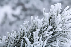Kiefernniederlassungen mit den Nadeln abgedeckt durch Frost Stockfotografie