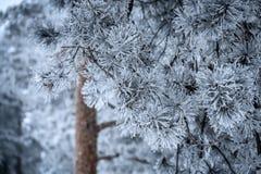 Kiefernniederlassungen mit den Nadeln abgedeckt durch Frost Stockbild