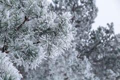 Kiefernniederlassungen mit den Nadeln abgedeckt durch Frost Stockbilder