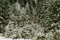 Kiefernniederlassungen umfasst durch Schnee Stockfotos