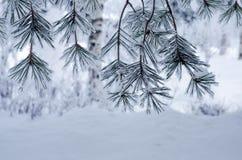 Kiefernniederlassungen umfasst mit Schnee und Frost Stockbilder